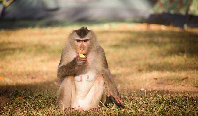 Vaiolo delle scimmie torna a far paura in Gran Bretagna
